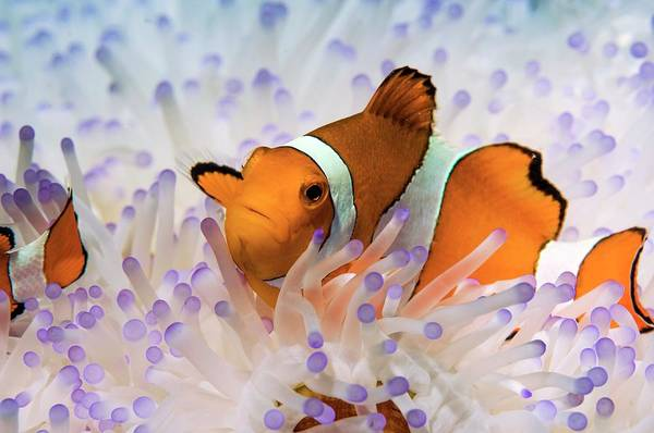 Clownfish Photograph - Clown Anemonefish In Bleached Anemone by Georgette Douwma/science Photo Library