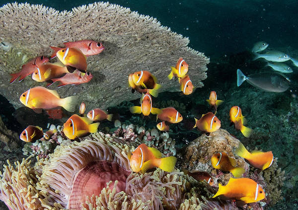 The Maldives Photograph - Clown Fish by By Wildestanimal