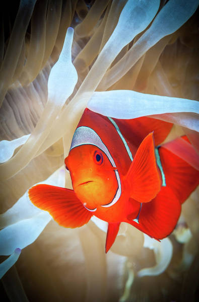 Kimbe Bay Wall Art - Photograph - Clownfish Defends His White Anemone by Jan Abadschieff