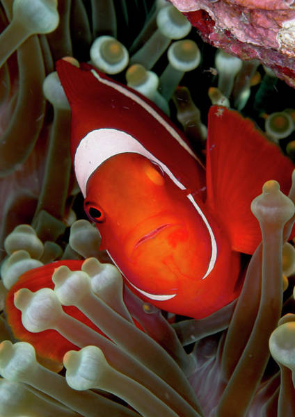 Underwater Scene Photograph - Clownfish In An Anemone by Mark Webster
