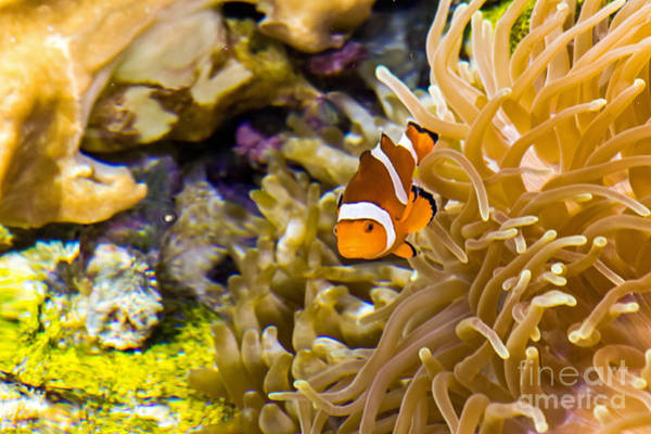 Photograph - Clownfish by Kate Brown
