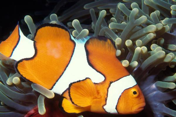 Wall Art - Photograph - Clownfish by Nancy Sefton