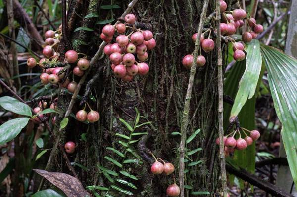 Gular Photograph - Cluster Fig Tree Fruits by Louise Murray/science Photo Library
