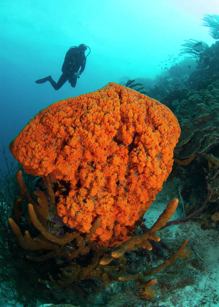 Underwater Photograph - Cluster Of Sponges, A Type Of Marine by Stephen Frink