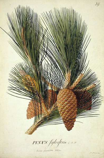 Pine Cones Photograph - Cluster Pine (pinus Pinaster 'aiton') by Natural History Museum, London/science Photo Library