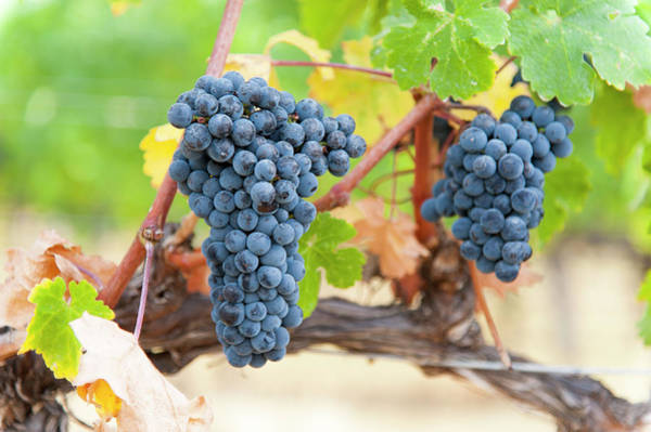 Okanagan Photograph - Clusters Of Merlot Grapes by Stuart Mccall