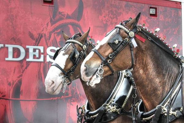 Draft Horses Photograph - Clydesdales by Jane Linders