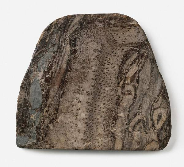 Extinct Photograph - Coal-ball Medullosa Fossil by Dorling Kindersley/uig