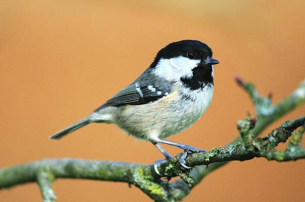 Tit Photograph - Coal Tit by Colin Varndell