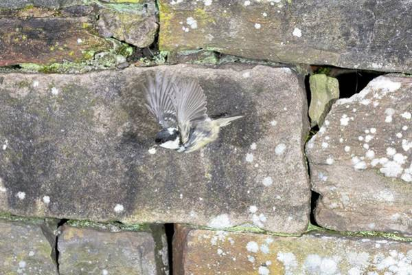 Tit Photograph - Coal Tit Leaving Its Nest by Simon Booth/science Photo Library