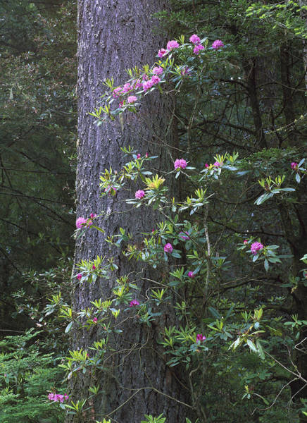 Photograph - Coast Redwood And Rhododendron Redwood by Tim Fitzharris