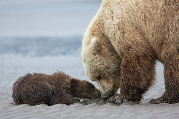 Wall Art - Photograph - Coastal Grizzly Bear Cub Begs For A Clam by Brenda Tharp
