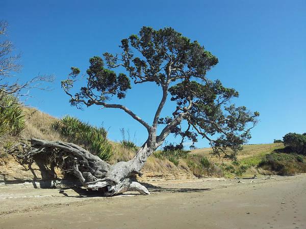 Pohutukawa Photograph - Coastal Pohutukawa Tree On Long Bay Beach by Clive Littin