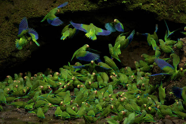Wall Art - Photograph - Cobalt Winged Parakeets Flock To A Pool by Tim Laman
