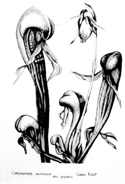 Carnivorous Drawing - Cobra Plant by Ben Saturen