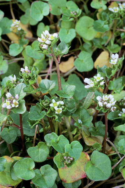 Early Spring Photograph - Cochlearia Danica by Geoff Kidd/science Photo Library
