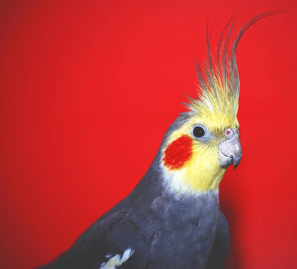 Photograph - Cockatiel by Larah McElroy