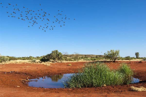 D Day Photograph - Cockatiels Flying To Desert Waterhole by D. Parer & E. Parer-Cook