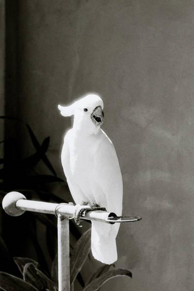 Photograph - Cockatoo  by Shaun Higson