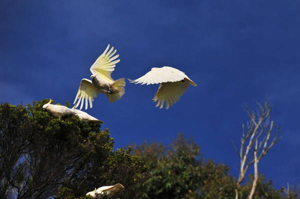 Photograph - Cockatoos On The Wing by Harry Spitz