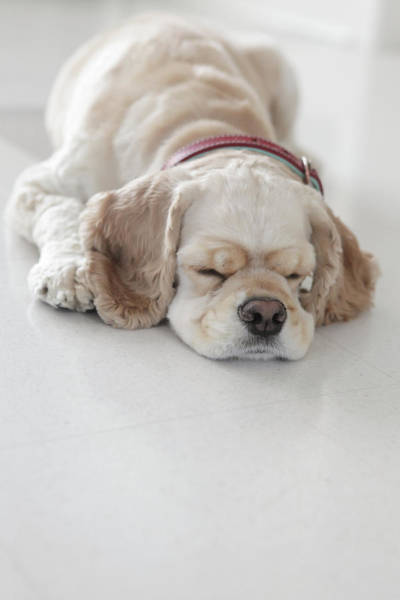Cocker Spaniel Photograph - Cocker Spaniel Dog Sleeping by Tricia Shay Photography