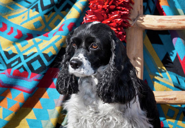 Cocker Spaniel Photograph - Cocker Spaniel Sitting by Zandria Muench Beraldo