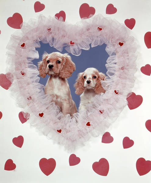 Cocker Spaniel Photograph - Cocker Spaniels Love Hearts Couple by Vintage Images