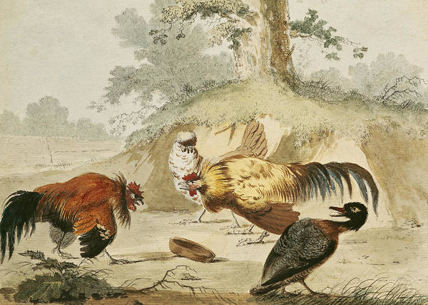 Confrontation Wall Art - Drawing - Cocks Fighting by Melchior de Hondecoeter