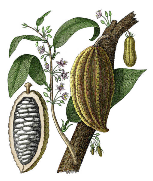 Wall Art - Photograph - Cocoa Fruit by Sheila Terry/science Photo Library