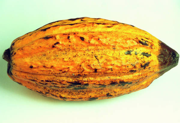 Foodstuff Photograph - Cocoa Fruit by Th Foto-werbung/science Photo Library