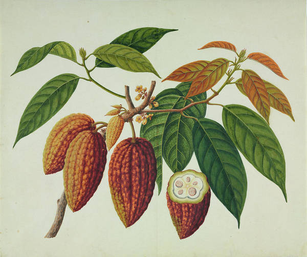 Wall Art - Photograph - Cocoa Plant (theobroma Cacao) by Natural History Museum, London/science Photo Library