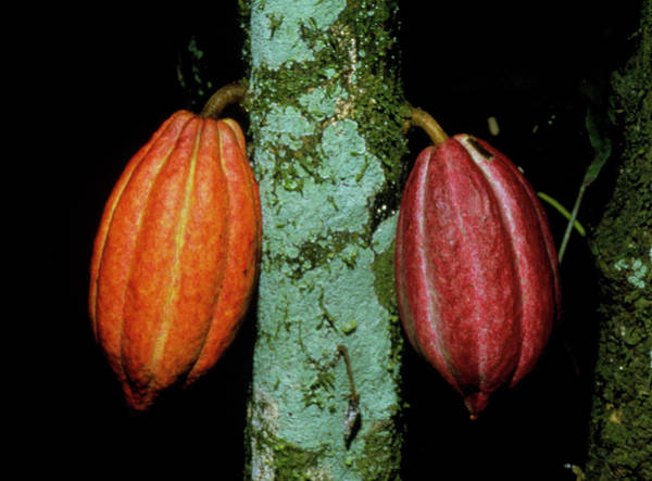 Wall Art - Photograph - Cocoa Pods Growing On Tree by Dr Morley Read/science Photo Library