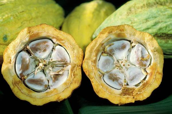 Wall Art - Photograph - Cocoa Pods by Keith Weller/us Department Of Agriculture/science Photo Library