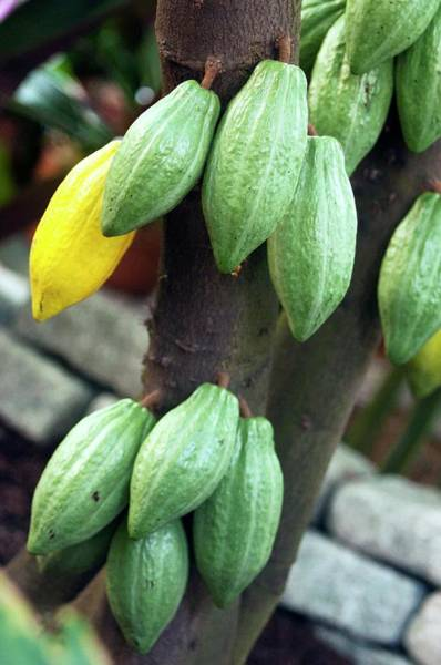 Wall Art - Photograph - Cocoa Pods by Maria Mosolova/science Photo Library
