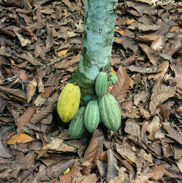Wall Art - Photograph - Cocoa Pods by Mark De Fraeye/science Photo Library