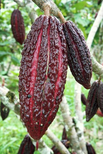 Wall Art - Photograph - Cocoa Pods On A Tree by Sinclair Stammers/science Photo Library