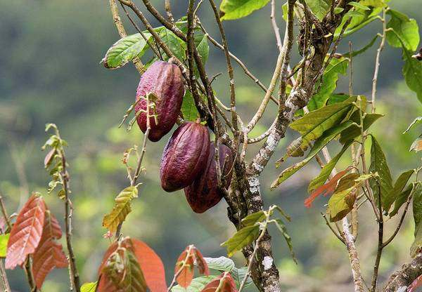 Wall Art - Photograph - Cocoa Pods On A Tree (theobroma Cacao) by Bob Gibbons