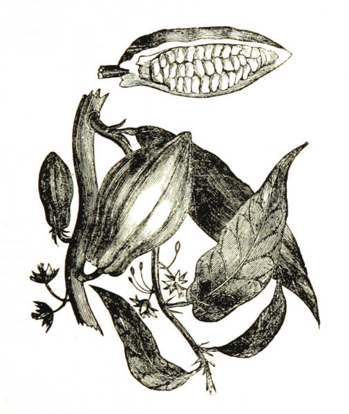Wall Art - Photograph - Cocoa Pods, Theobroma Cacao, 1839 by British Library