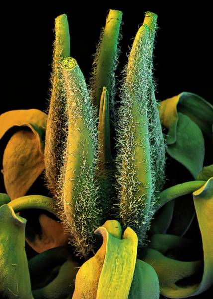 Carpel Photograph - Cocoa Tree Flower by Stefan Diller