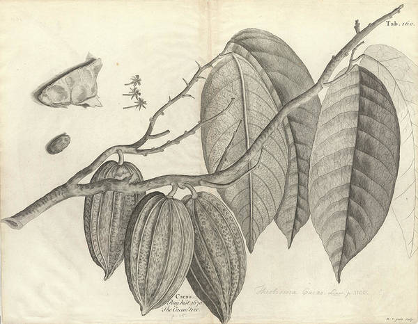 Wall Art - Photograph - Cocoa Tree Leaves And Pods by Natural History Museum, London/science Photo Library