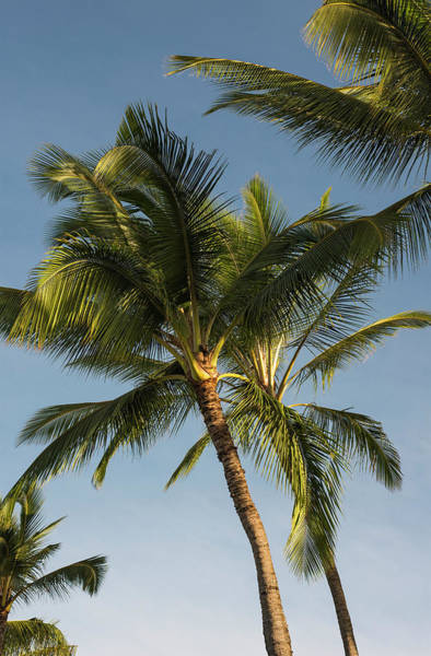 Wall Art - Photograph - Coconut Palms Sway In Tropical Breezes by Robert L. Potts