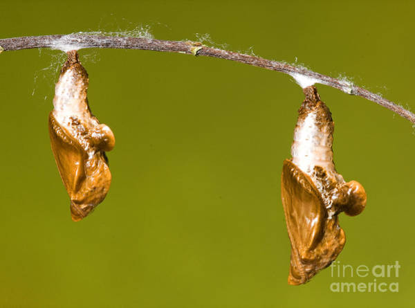 Duval County Photograph - Cocooned Gulf Fritillary Butterflies by Millard H. Sharp