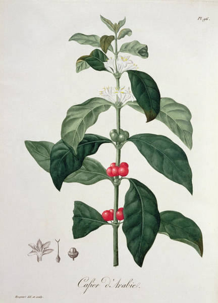 Arabian Drawing - Coffea Arabica From Phytographie by L.F.J. Hoquart