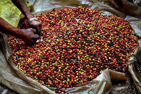 El Salvador Photograph - Coffee Berries, El Salvador by John Coletti