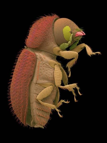 Coffee Berry Borer Art Print by Dennis Kunkel Microscopy/science Photo Library