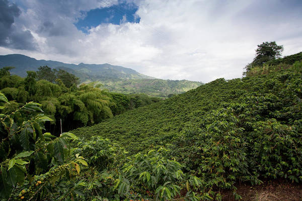 Colombia Photograph - Coffee Landscape. Marsella, Risaralda by The Colombian Way Ltda