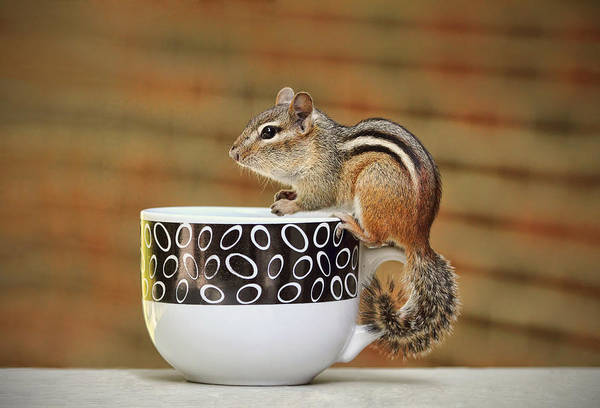 Photograph - Coffee With Chipper The Chipmunk by Peggy Collins