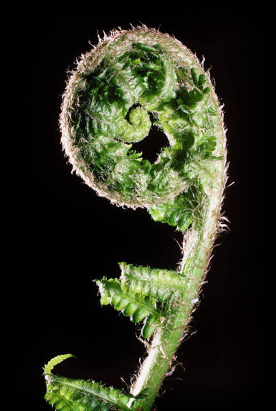 New Leaf Photograph - Coiled New Leaf Of Male Fern by Dr Jeremy Burgess/science Photo Library