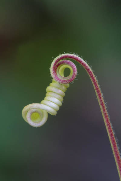 Photograph - Coiled Tendril Of Passionflower by Daniel Reed