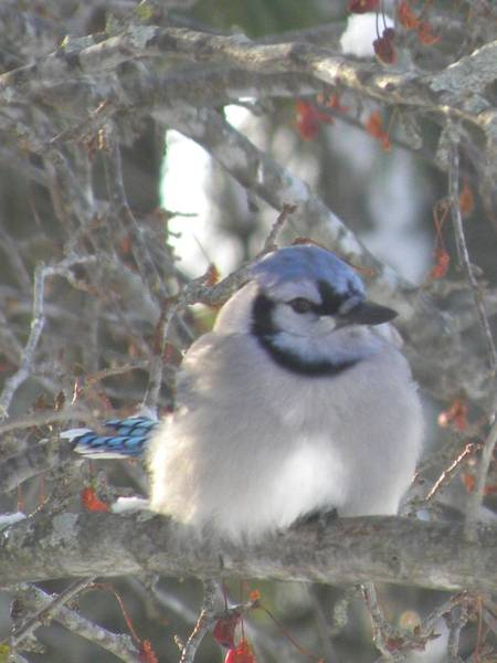 Photograph - Cold Canadian Bluejay by Peggy  McDonald